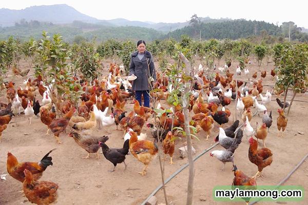 Mô hình chăn nuôi hiệu quả nhất hiện nay