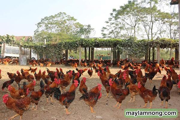 Mô hình nuôi gà thả đồng