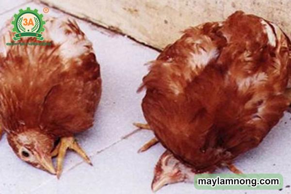 các bệnh thường gặp ở gà, cách trị bệnh gà ủ rủ, bệnh ở gà, bệnh trên gà, gà bị tái mặt, các bệnh thường gặp ở gà con, 50 benh thuong gap o ga, bệnh gà, các bệnh ở gà, ga bi benh, gà bị bệnh mù mắt, benh thuong gap o ga, một số bệnh thường gặp ở gà, các bệnh của gà, bệnh thường gặp ở gà, các bệnh về gà, các loại bệnh ở gà, các loại bệnh của gà, các bệnh thường gặp ở gà và cách phòng trị, các bệnh của gà và cách chữa