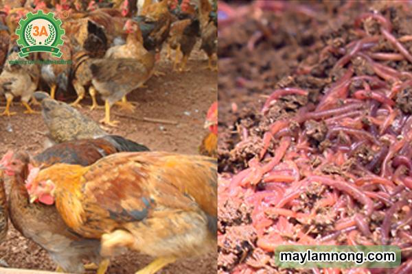 nuôi gà bằng giun quế, cách nuôi gà bằng giun quế, nuôi gà thả vườn bằng trùn quế, kỹ thuật nuôi gà bằng trùn quế, kỹ thuật nuôi gà bằng giun quế, nuôi gà đẻ bằng giun quế, mô hình nuôi gà bằng giun quế, chăn nuôi gà bằng giun quế, nuôi gà ta bằng giun quế