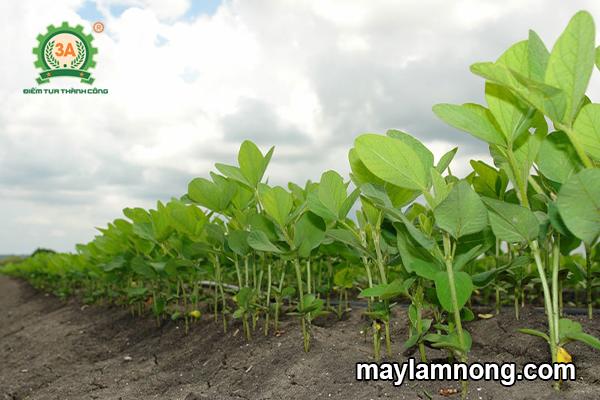 Chia sẻ kinh nghiệm trồng và chăm sóc cây đậu xanh hiệu quả