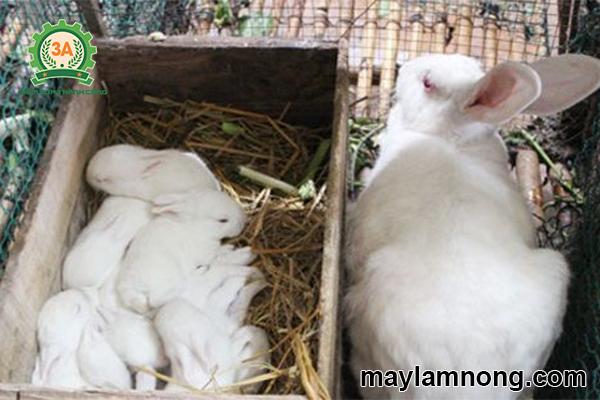 cho thỏ con bú mẹ 1 lần/ngày