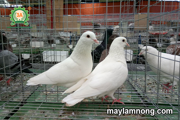 nuôi chim bồ câu, cách nuôi chim bồ câu, chim bồ câu pháp, nuôi bồ câu pháp, cách nuôi bồ câu, nuoi chim bo cau, kỹ thuật nuôi chim bồ câu, nuôi bồ câu