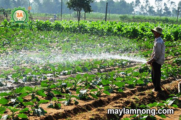 trồng cà tím, ky thuat trong ca tim, cây cà tím, kỹ thuật trồng cà tím, trong ca tim, cà tím tròn, trồng cà