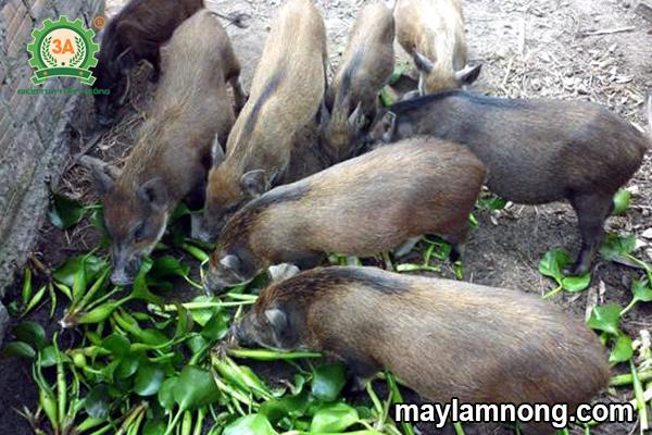 cách nuôi lợn rừng