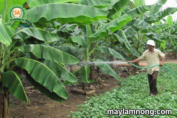 kỹ thuật trồng chuối lùn