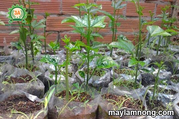 trồng gấc