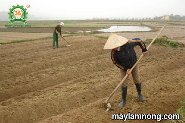 cách trồng bắp cải