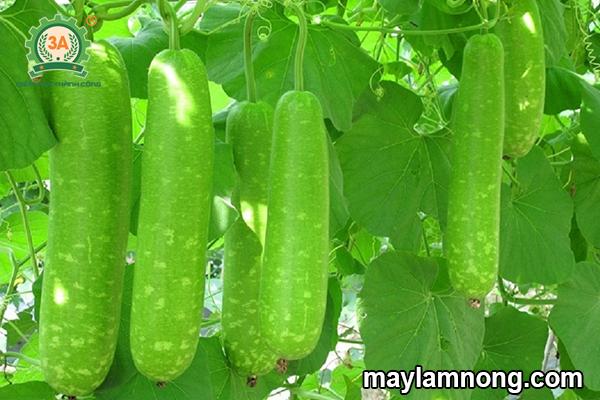 Kỹ thuật trồng bầu