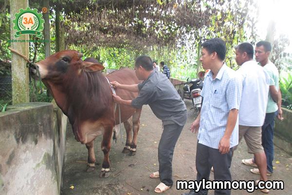 vỗ béo bò