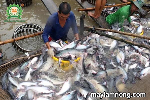 phối trộn thức ăn cho cá