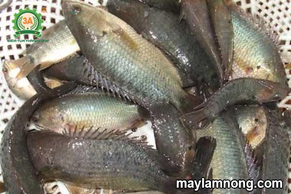 nuôi cá rô đồng