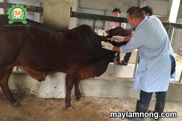 nuôi bò, chăn nuôi bò, nuoi bo, bò đực, trang trại nuôi bò, bò đực giống