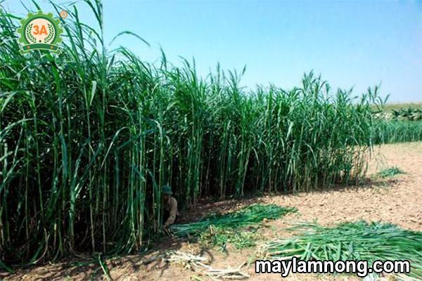 giống cỏ dùng trong chăn nuôi