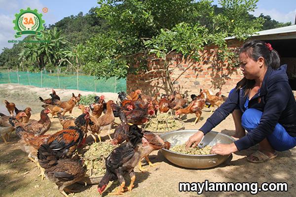 cho gà ăn thân cây chuối
