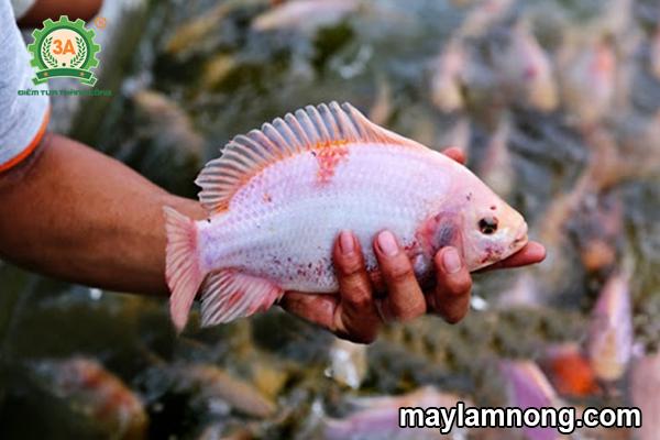 nuôi cá diêu hồng, kỹ thuật nuôi cá điêu hồng, kỹ thuật nuôi cá điêu hồng trong bè