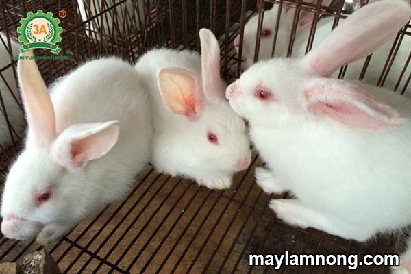 tho de, kỹ thuật nuôi thỏ sinh sản, nuôi thỏ sinh sản, thức ăn cho thỏ sinh sản, cách nuôi thỏ sinh sản, cách nuôi thỏ đẻ, thỏ sinh sản