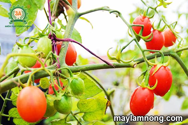 cà chua bi, cách trồng cà chua bi, trồng cà chua bi, ca chua bi, cây cà chua bi