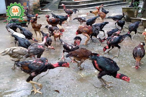 Giống gà thịt ngon nhất